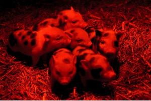 Törpemalacok a debreceni állatkertben