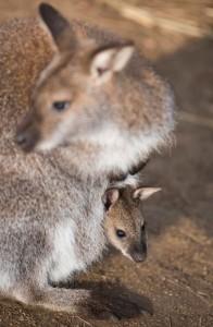 Benett kenguru kölyök