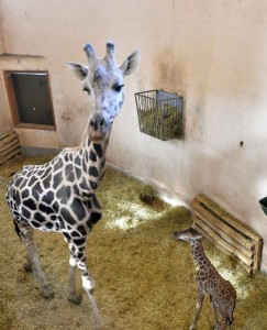 Zsiráfborjú kis zsiráf Budapesten