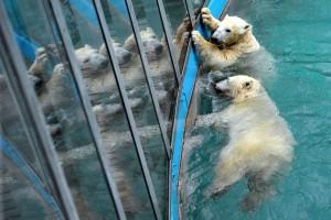 Jegesmedvék a Budapesti Állatkertben