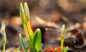 Somogyi hóvirágok