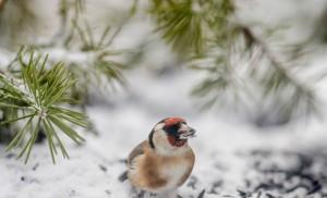 Tengelic az év madara