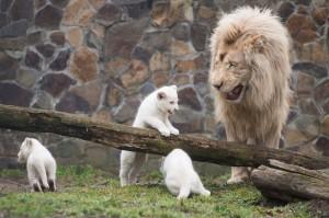 Fehér oroszlánkölykök Nyíregyházán