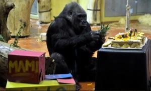 Budapeti állatkert gorillája