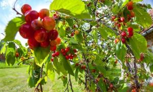 Cseresznyeérés Zalában