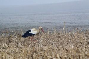 Semjénházi gólya